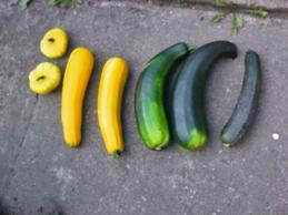 Zucchini-Ernte nach Urlaub